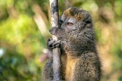 Östlig Lesser Bamboo Lemur Hapalemur griseus i Madagascar arkivfoton