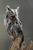 östlig owlscreech Arkivfoton