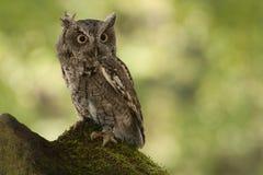östlig owlscreech Arkivbild
