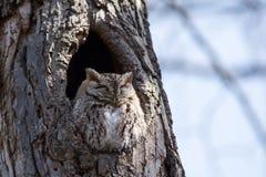 östlig owlscreech Royaltyfri Foto