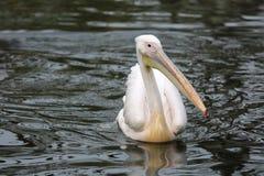 östlig pelikanwhite Arkivbild