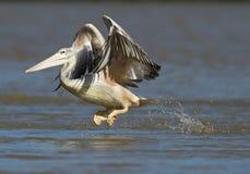 östlig pelikanwhite Royaltyfria Bilder