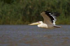 östlig pelikanwhite Royaltyfria Foton