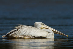 östlig pelikanwhite Fotografering för Bildbyråer