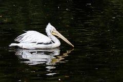 östlig pelikanwhite Royaltyfri Bild
