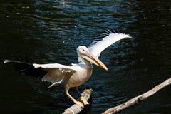 östlig pelikanwhite Arkivfoton