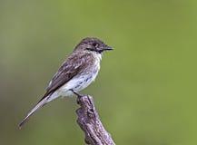 östlig phoebesayornis Royaltyfria Bilder