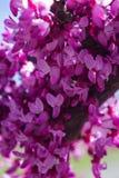 Östlig Redbud blomma royaltyfri fotografi