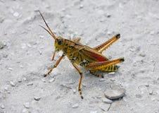 Östlig Rubberback gräshoppa arkivbilder
