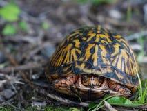 östlig sköldpadda för ask Royaltyfri Foto
