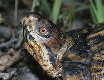 östlig sköldpadda för ask Royaltyfri Fotografi