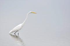 Östlig stor vit Egret arkivbild