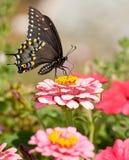 Östlig svart Swallowtail fjäril i trädgård arkivfoton