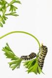 Östlig svart Swallowtail larv royaltyfria bilder
