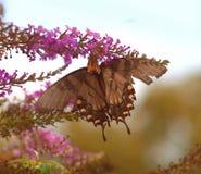 östlig swallowtailtiger Arkivbilder