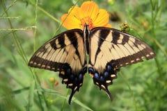 östlig swallowtailtiger Arkivfoton