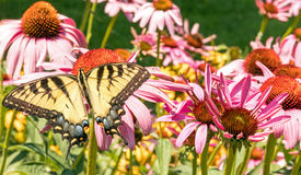 östlig swallowtailtiger Fotografering för Bildbyråer