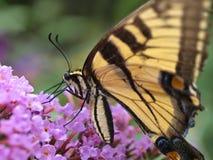 östlig swallowtailtiger för fjäril Arkivfoton