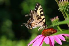 östlig swallowtailtiger för fjäril Fotografering för Bildbyråer