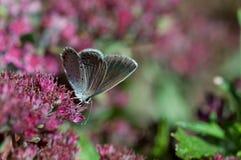Östlig-tailed blått Royaltyfri Foto