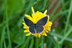 Östlig-tailed blått royaltyfria foton