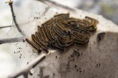 östlig tent för caterpillar Arkivfoto