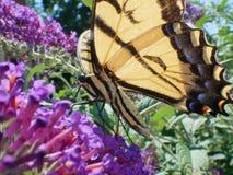 Östlig Tiger Swallowtail Papilo Glaucus fjärilscloseup arkivfoto