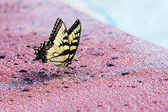 Östlig tigerSwallowtail fjäril royaltyfri foto
