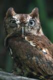 östlig tokig owlscreech Arkivfoto
