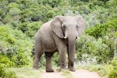 Östlig udde södra Afrika för mäktig manlig elefant royaltyfri fotografi
