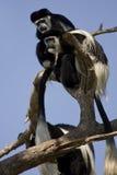 östlig white för svart colobus Royaltyfria Bilder