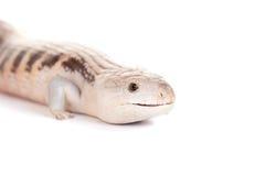 Östliga Blått-spontade Skink på vit Arkivbilder