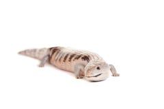 Östliga Blått-spontade Skink på vit Fotografering för Bildbyråer