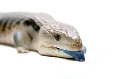 Östliga Blått-spontade Skink på vit Arkivbild