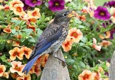 östliga blommor för blåsångare Royaltyfria Foton