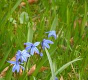 Östliga camas blommor Arkivfoto