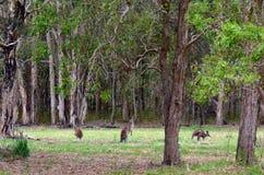 Östliga gråa kängurur Arkivbild
