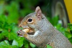 Östliga Gray Squirrel Royaltyfri Bild