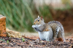 Östliga Gray Squirrel, Aten, Georgia Arkivfoton