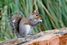 Östliga Gray Squirrel, Aten, Georgia Royaltyfria Bilder