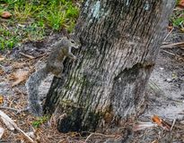 Östliga Gray Squirrel Climbing ett träd royaltyfri bild