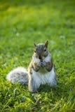 Östliga Gray Squirrel Eating en valnöt Fotografering för Bildbyråer