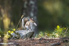Östliga Gray Squirrel, Georgia, USA arkivfoton