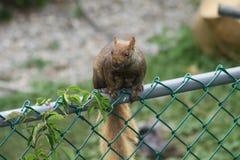 Östliga Gray Squirrel (Sciuruscarolinensis) på staketet Royaltyfri Bild