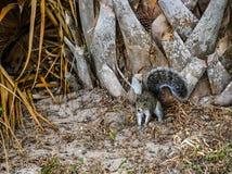 Östliga Gray Squirrel Under palmträdet arkivfoton