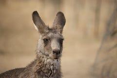 Östliga Grey Kangaroo (Macropusgiganteusen) Fotografering för Bildbyråer