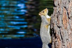 Östliga Grey Squirrel - Sciurus Carolinensis royaltyfri bild