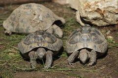 Östliga Hermanns sköldpadda (Testudohermanniboettgerien) Royaltyfri Foto