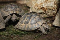 Östliga Hermanns sköldpadda (Testudohermanniboettgerien) Arkivfoto