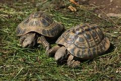 Östliga Hermanns sköldpadda (Testudohermanniboettgerien) Arkivbild